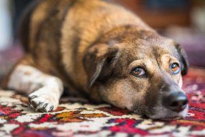Dog on oriental rug